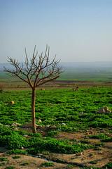 Single (kezwan) Tags: tree spring single kurdistan kezwan