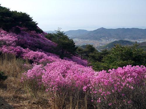090418 강화 고려산 진달래축제