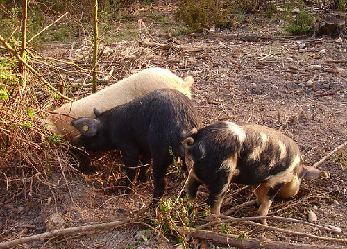 The three little pigs are growing fast