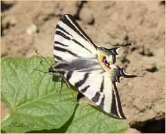 Kardoslepke (Iphiclides podalirius)... in my garden. (sz.ineka's world) Tags: macro beautiful butterfly garden spring hungary first tavasz kert magyarorszg els szekszrd pillang katkafot kerkhegyen 2009apr kardoslepkeiphiclidespodalirius