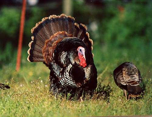 wildturkey1