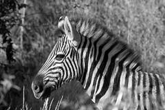 Plains zebra (Equus quagga) (Bill Davies (SA)) Tags: africa wild white abstract black eye nature lines animal fur southafrica mammal design pattern outdoor head african background stripes wildlife coat stripe front structure line frame zebra material plains equus madikwe mosetlhabushcamp quagga plainszebra equusquagga colinmead photographicsafari madikwenaturereserve