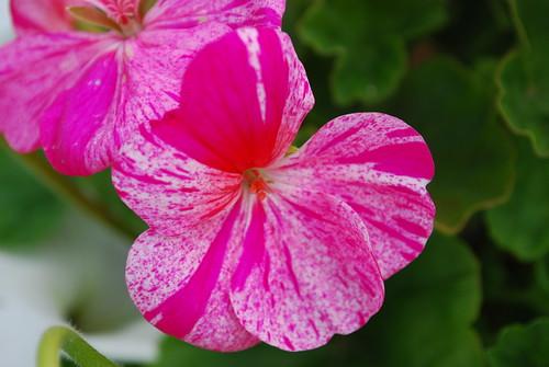 spattered geranium