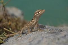 Lizard Desierto Lagarto