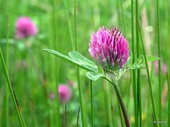 clover - wildflower (Jeanne Kliemesch) Tags: nature nikon explore wildflower jeanne achterhoek theunforgettablepictures tup2 nikoncoolpixp80 nikonp80 vanagram