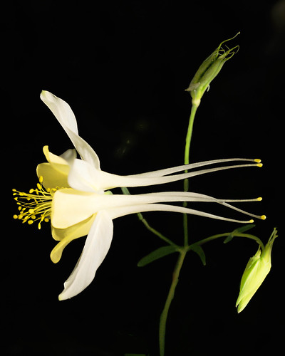 Columbine - 1 (by RSC Photography)