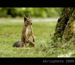 (endredi.krisztina) Tags: light green nature canon eos squirrel mkus krisztina 40d ekris 70200mmf4lisusm endredi