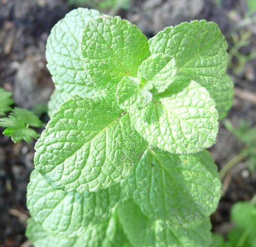 5/30/09 Apple Mint