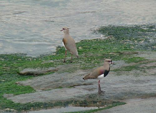 Aves de  Montevideo, Uruguay