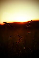 Sun AmongThe Horizon (Jordan Woods) Tags: sunset sun grass reeds fields filters grad