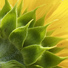 Sunflower Layers 向日葵花萼層次 (olvwu   莫方) Tags: plant flower yellow bokeh farm taiwan yellowflower sunflower ntu taipei bud asteraceae laef inflorescence helianthus compositae taipeicounty sindian jungpangwu oliverwu oliverjpwu helianthusannuus asterales 台大農場 ntufarm olvwu 台大安康農場 sindiancity jungpang 台大農改場 ntuangkangfarm helianthusannuuslinn