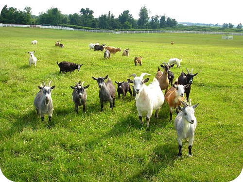 goat swarm