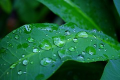 Make a real story [water drops] (sippay) Tags: macro tree green home water leaves drops rainy funaad