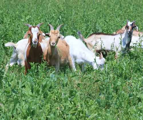 Goats grazing chicory
