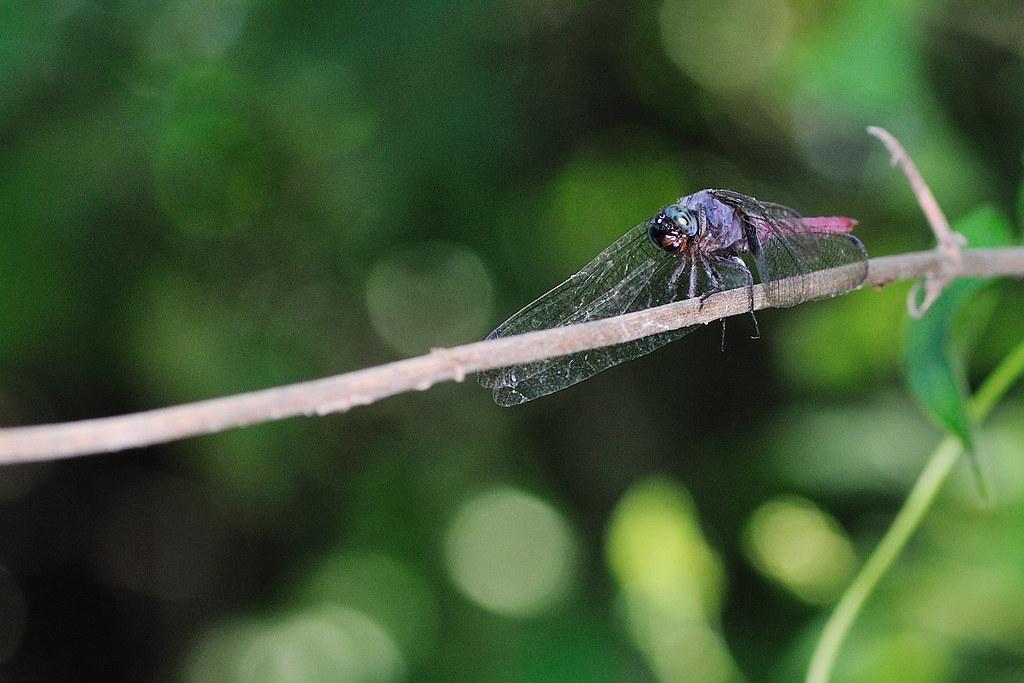霜白蜻蜓(雄) Orthetrum pruinosum neglectum