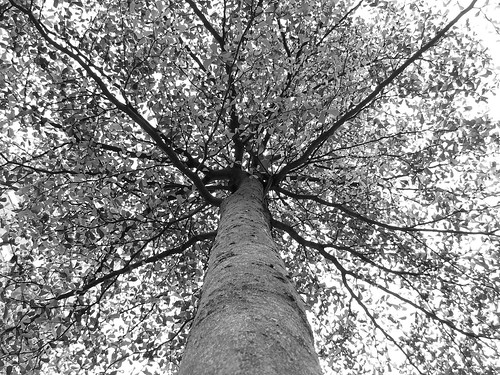 2009 Photo Challenge - Day 52: Black & White Tree