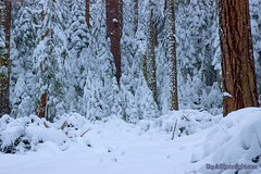 Snow Frosted Pines - Yosemite National Park (Darvin Atkeson) Tags: park usa snow pine america landscape us pines national yosemite darvin   atkeson  darv   liquidmoonlightcom liquidmoonlight