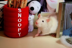Schroeder with Snoopy (Honey Pie!) Tags: cute rat peanuts explore snoopy lpis fofo schroeder fancyrat ratazana explored