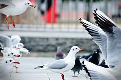 Kobe seagulls (LluisGerard) Tags: seagulls bird birds animal japan seagull gull pjaros kobe  jap pjaro  ocells  japn  gavina ocell