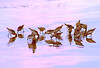 sanderlings in the early morning (rlonas) Tags: morning reflection bird beach water sand sanderling bigmomma pfogold