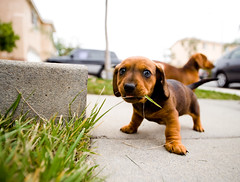 Little Grass Eater (arkworld) Tags: dog puppy nikon daschund notmydog nikond3 tamronspaf1735mmf284