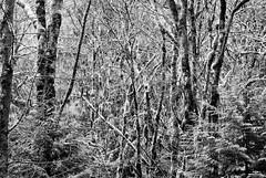 white moss (Ben McLeod) Tags: silverefexpro moss infrared pdx portland trees 105mmf28gvrmicro lichen oregon bw macro silverefexpropluginforaperture forestpark