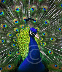 BEAUTY (smrafiq) Tags: pakistan fab beauty asia peacock confucius everyone everything karachi has sees sindh smrafiq