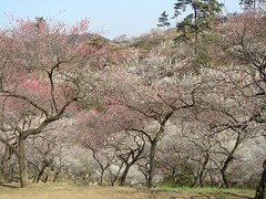 DSC07892.JPG (chinitanglatina) Tags: flowers nature japan spring ome ume yoshino plumblossoms umematsuri