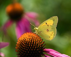 Clouded Sulphur (Momba (Trish)) Tags: pink green nature yellow butterfly insect interestingness nikon tennessee explore sulphur coneflower nikkor momba blueribbonwinner cloudedsulphur interestingness473 i500 colorphotoaward specinsect supereco natureoutpost gemsofnature