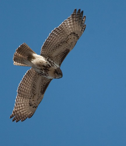 Red-tail
