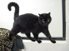 Piper, a Darling Black Girl Cat, Shows Off on Window Ledge (Pixel Packing Mama) Tags: catsandkittensset bcb heartlandhumanesociety pixelpackingmama blackcatspool dorothydelinaporter montanathecat~fanclubpool theoneblackcatpool ceruleanthecat~fanclubpool cbat boohooclub blackanimalspool blackcatspathpool maskedblackcatspool canonpowershota720isiistart112508set canonallcanoniistart112508set thecorvallisoregonyearsiistarting112508set uploadedfirsthalfof2009set uploadedfirsthalfof2009 thecorvallisoregonyearspart7set blackcatskittenspool pixelpackingmama~prayforkyronhorman oversixmillionaggregateviews over430000photostreamviews