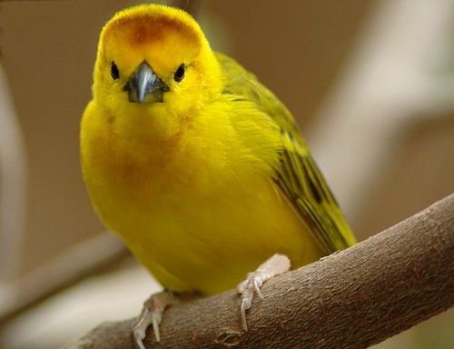 Golden Weaver - Africa