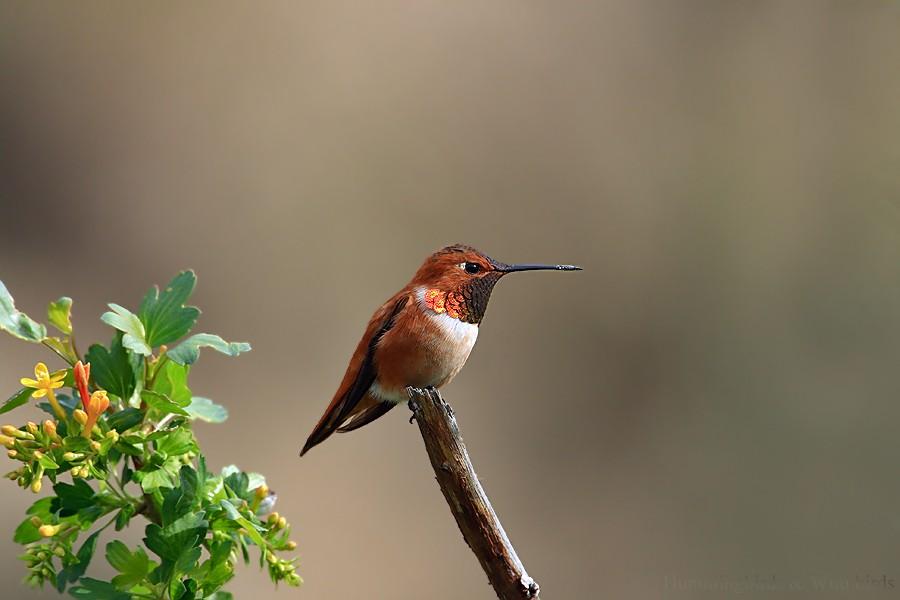 Rufous Hummingbird 03091