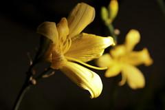 Flowers in the Dark (BAYHAN Photo) Tags: flowers yellow delete10 night delete9 delete5 delete2 delete6 delete7 delete8 delete3 delete delete4 save save2 delete11