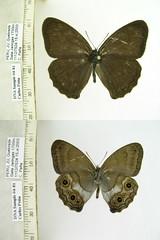 Euptychoides eugenia
