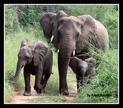 Familia (Roseli Ronchesi) Tags: elephant mammal safari krugerpark elefante savanna mamfero manada frica savana paquiderme