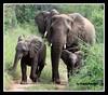 Familia (Roseli Ronchesi) Tags: elephant mammal safari krugerpark elefante savanna mamífero manada áfrica savana paquiderme