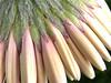 gerbera in fioritura