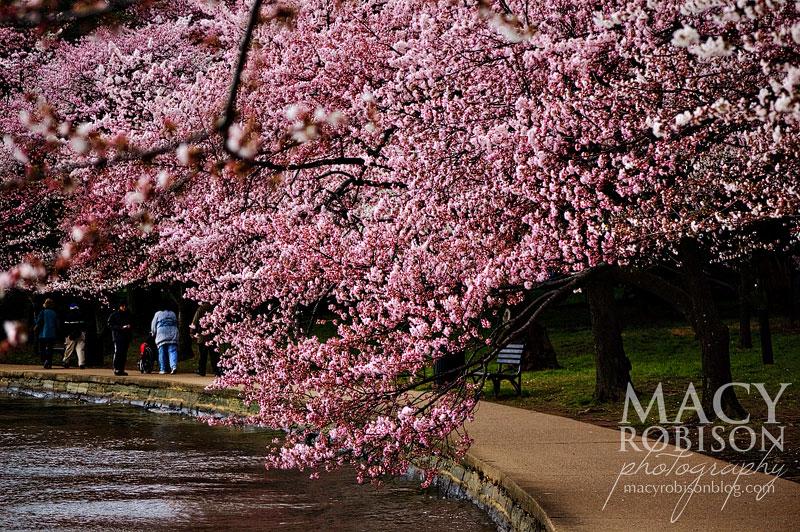 Cherry Blossom Festival - 3