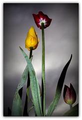Tulips (Wind Home) Tags: flowers oregon tulips flash lookingup platinumheartaward theperfectphotographer wonderfulworldofflowers