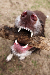 Stick chewer (TheGiantVermin) Tags: dog ess teeth rufus bite stick chew springerspaniel dogpark englishspringerspaniel