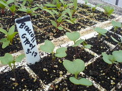 More broccoli seedlings--Gypsy