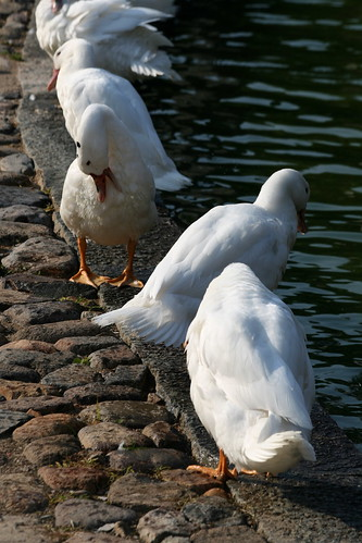 Ducks (by niklausberger)