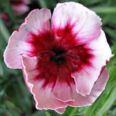 Bower Vine flower