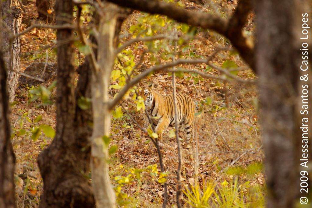 Chorbhera Tigress _MG_0741_F