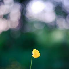 (Herv KERNEIS) Tags: france flower green nature fleur yellow jaune gold flickr bokeh vert flou champ herbe tige nikkor50mmf14 orne61 saintemargueritedecarrouges laviepleineouverture