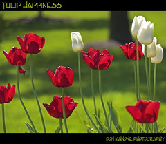 Tulip Happiness (Don Iannone) Tags: flowers ohio garden spring lawn philosophy explore springtime aristotle sunnyday redtulips whitetulips naturesbeauty greekphilosophy northeastohio classicalphilosophy mayfieldvillage doniannone may2009 doniannonephotography nikond2xcamera tuliphappiness tulipessence backlightedphoto limegreengrass