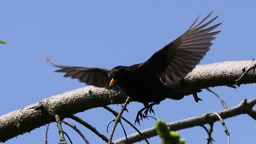 Blackbird in Flight