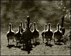Out of Nowhere (Kirsten M Lentoft) Tags: fab grass birds animals sepia geese goose goslings waterfowl utterslevmose fineartphotos explore97 mywinners avianexcellence betterthangood goldstaraward kirstenmlentoft