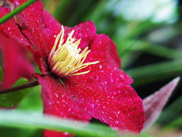 Flower, after a rainstorm